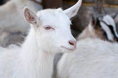 Weiße Ziege ohne Horn lizenzfreies stockfoto