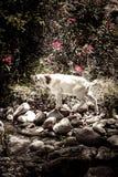 Wei?e Ziege steht auf den Steinen, die durch Gr?npflanzen mit roten Blumen umgeben werden stockfoto