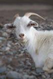 Weiße Ziege Symbol des neuen Jahres auf dem Ostkalender Lizenzfreie Stockbilder
