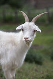 Weiße Ziege Symbol des neuen Jahres auf dem Ostkalender Stockfotos