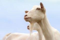 Weiße Ziegen Stockfotografie
