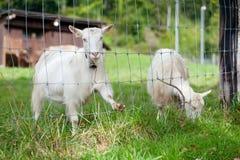 Weiße Ziegen lizenzfreie stockfotografie