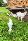 Weiße Ziegen im Dorf gehend nahe einem Holzhaus Lizenzfreie Stockfotos