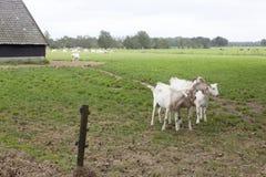 Weiße Ziegen und Scheune in der niederländischen Wiese in der Provinz von Utrecht Stockfotografie