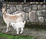 Weiße Ziegenfamilie lizenzfreies stockbild
