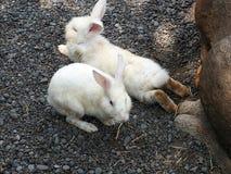 Weiße zwergartige Kaninchen in einem Minibauernhaus in Bali, Indonesien stockbilder