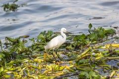 Weißer östlicher großer Reiher, der in Wasser geht Stockfotografie