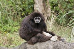 Weißer übergebener Gibbon Stockfoto
