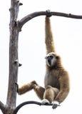 Weißer übergebener Gibbon Stockfotos