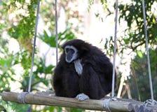 Weißer übergebener Gibbon, der auf einem Schwingen untersucht Abstand sitzt Stockfotografie