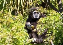 Weißer übergebener Gibbon, der aus einem Baum heraus betrachtet Zuschauer emporragt Lizenzfreie Stockfotos