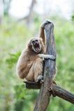 Weißer übergebener Gibbon oder Lar-Gibbon Lizenzfreies Stockfoto