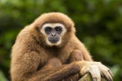 Weißer übergebener GibbonBlickkontakt Stockfoto