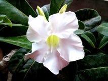 Weißer Adenium Obesum blüht, der Nachtisch Rose Stockbild