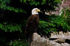 Weißer Adler auf einem Felsen in den Bäumen Stockfotografie