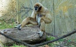 Weißer Affe, der auf dem hölzernen Klotz sitzt Lizenzfreie Stockbilder