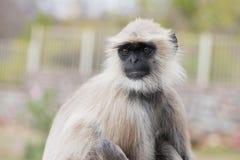 Weißer Affe, der oben schaut Lizenzfreies Stockfoto