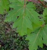 Weißer Ahorn (Acer-saccharinum) verlässt nach einem Sommer-Regen Stockfotografie
