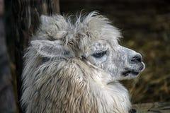 Weißer Alpaka ` s Kopf 1 Stockfotos