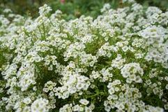 Weißer Alyssum Lizenzfreies Stockfoto
