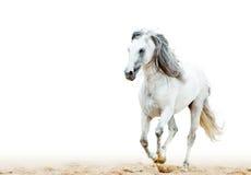 Weißer andalusischer Hengst Lizenzfreies Stockfoto