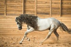 Weißer andalusischer Pferdeportrait in der Bewegung Lizenzfreies Stockfoto