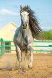 Weißer andalusischer Pferdeportrait in der Bewegung Stockfotografie