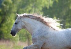 Weißer andalusischer Pferdeportrait in der Hintergrundbeleuchtung Lizenzfreies Stockbild