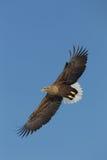 Weißer angebundener Adler Stockbilder