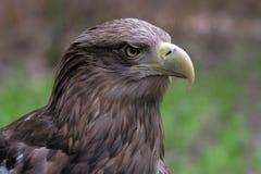Weißer angebundener Adler Lizenzfreies Stockfoto