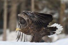 Weißer angebundener Adler auf Schnee Stockfoto