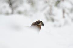 Weißer angebundener Adler auf Schnee Lizenzfreie Stockfotografie