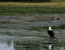 Weißer angebundener Fisch-Adler Lizenzfreie Stockfotografie