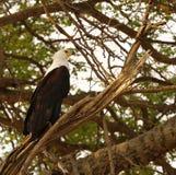 Weißer angebundener Fisch-Adler Stockfotos