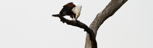 Weißer angebundener Fisch-Adler Stockbild