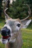 Weißer angebundener Rotwildkopf stockbilder