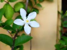 Weißer Angel Flower Lizenzfreies Stockfoto