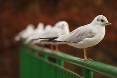 Weißer Angriff der Vögel auf Park See stockbild