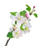 Weißer Apfel blüht die Niederlassung, die auf Weiß lokalisiert wird Stockbilder