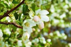 Weißer Apfel Bluring blüht im Frühjahr Zeit mit grünen Blättern Stockbilder