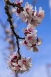 Weißer Aprikosenbaum blüht im Frühjahr auf einem blauen Hintergrund Stockbild