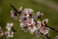 Weißer Aprikosenbaum blüht im Frühjahr auf einem grünen Hintergrund Stockfotos