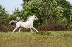 Weißer arabischer Stallion Lizenzfreie Stockbilder