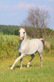 Weißer arabischer Stallion Stockfoto
