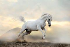 Weißer arabischer Stallion im Staub Stockfotos
