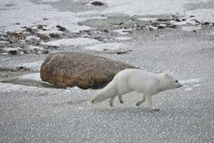Weißer arktischer Fuchs auf dem Lack-Läufer Stockbilder