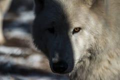 Weißer arktischer Wolf Lizenzfreie Stockfotografie
