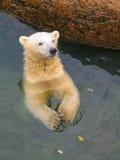 Weißer Bär im Zoo von St Petersburg, Russland Stockfotografie