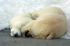 Weißer Bär mit Bärenjungem Lizenzfreie Stockfotos