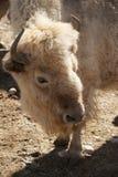 Weißer Büffel Lizenzfreie Stockfotografie